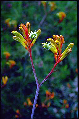 APII jpeg image of Anigozanthos 'Bush Haze'  © contact APII