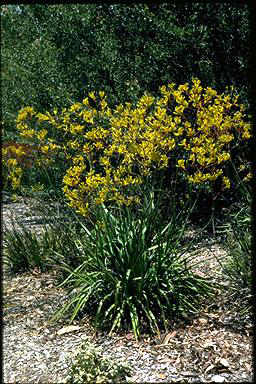 APII jpeg image of Anigozanthos 'Bush Gold'  © contact APII