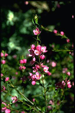 APII jpeg image of Boronia 'Aussie Rose'  © contact APII