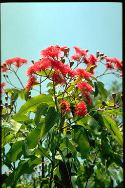 APII jpeg image of Corymbia 'Summer Red'  © contact APII