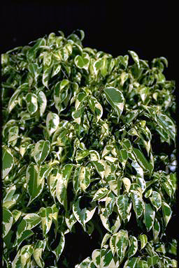 APII jpeg image of Ficus 'Gold Star'  © contact APII