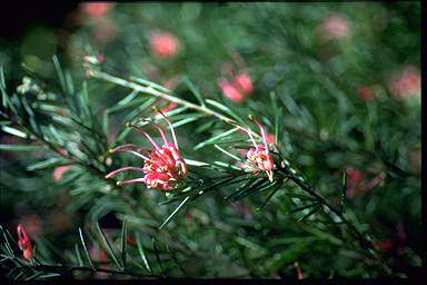 APII jpeg image of Grevillea 'Dargan Hill'  © contact APII