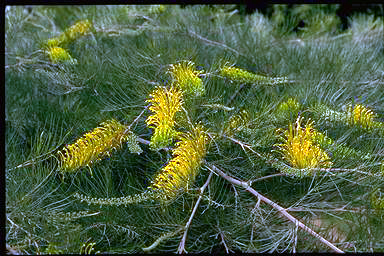 APII jpeg image of Grevillea 'Golden Lyre'  © contact APII