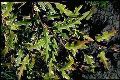APII jpeg image of Grevillea 'Sunkissed Waters'  © contact APII