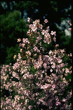 APII jpeg image of Prostanthera 'Oakdene Mauve'  © contact APII