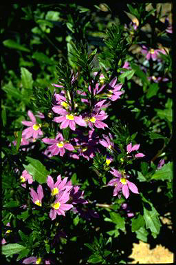APII jpeg image of Scaevola 'New Blue'  © contact APII
