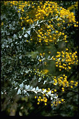 APII jpeg image of Acacia cultriformis  © contact APII
