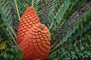 APII jpeg image of Encephalartos ferox  © contact APII