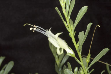 APII jpeg image of Eremophila veneta  © contact APII