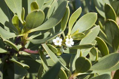 APII jpeg image of Myoporum insulare  © contact APII