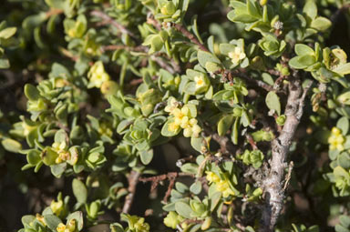APII jpeg image of Pimelea serpyllifolia  © contact APII