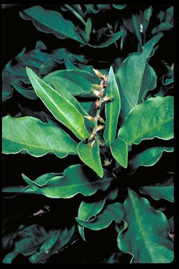 APII jpeg image of Achyranthes arborescens  © contact APII