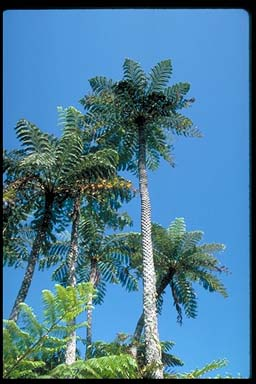 APII jpeg image of Cyathea brownii  © contact APII