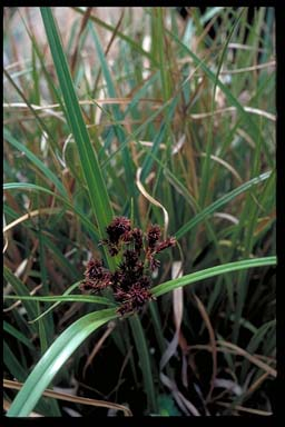 APII jpeg image of Cyperus lucidus  © contact APII