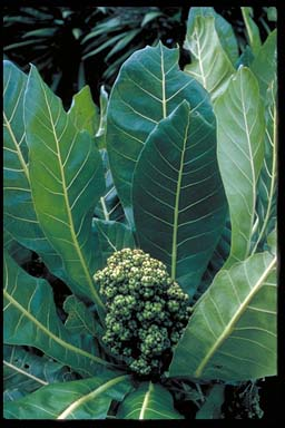 APII jpeg image of Meryta latifolia  © contact APII