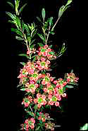Leptospermum 'Aphrodite' - click for larger image