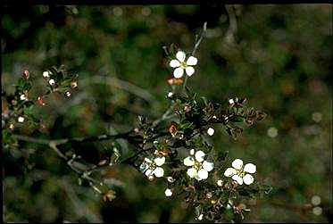 APII jpeg image of Leptospermum blakelyi  © contact APII