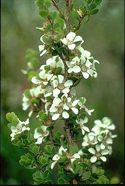 APII jpeg image of Leptospermum glaucescens  © contact APII