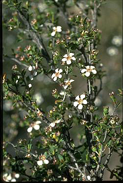 APII jpeg image of Leptospermum maxwellii  © contact APII