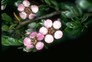 APII jpeg image of Leptospermum namadgiensis  © contact APII