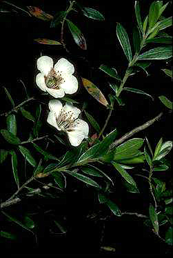APII jpeg image of Leptospermum turbinatum  © contact APII