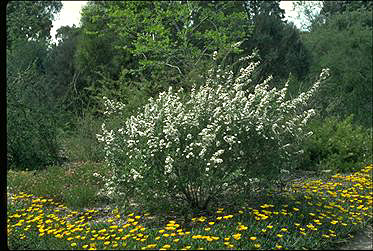 APII jpeg image of Leptospermum nitidum  © contact APII