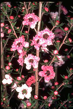 APII jpeg image of Leptospermum scoparium 'Ballerina'  © contact APII