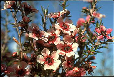 APII jpeg image of Leptospermum scoparium 'Lambethii'  © contact APII