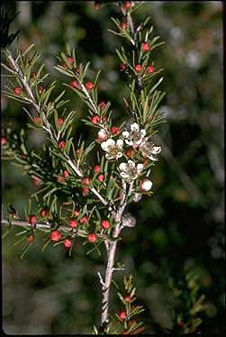 APII jpeg image of Leptospermum 'Sea Foam'  © contact APII