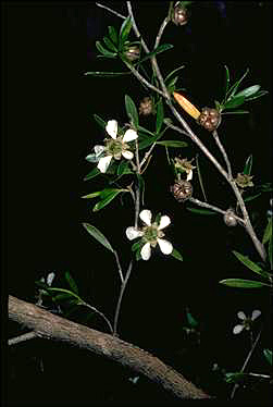 APII jpeg image of Leptospermum sejunctum  © contact APII