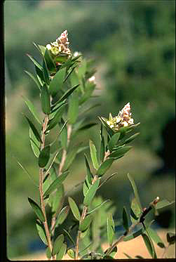APII jpeg image of Leptospermum speciosum  © contact APII