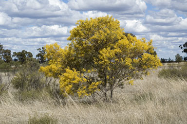 APII jpeg image of Acacia decora  © contact APII