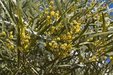 APII jpeg image of Acacia hakeoides  © contact APII