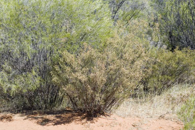 APII jpeg image of Micromyrtus striata  © contact APII