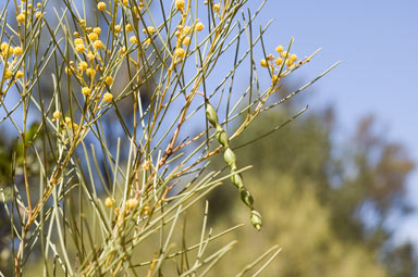 APII jpeg image of Acacia calamifolia  © contact APII
