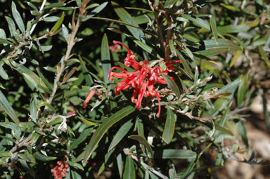 APII jpeg image of Grevillea 'Big Red'  © contact APII