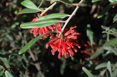 APII jpeg image of Grevillea irrasa subsp. didymochiton  © contact APII