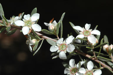 APII jpeg image of Leptospermum sericatum  © contact APII