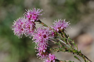 APII jpeg image of Kunzea parvifolia  © contact APII