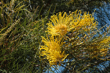 APII jpeg image of Grevillea 'Yamba Sunshine'  © contact APII