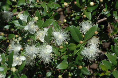 APII jpeg image of Myrtus communis  © contact APII