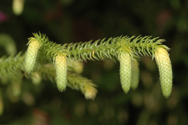 APII jpeg image of Lycopodium cernuum  © contact APII