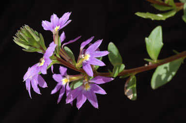 APII jpeg image of Scaevola 'New Wonder'  © contact APII