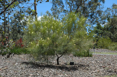 APII jpeg image of Grevillea obliquistigma  © contact APII