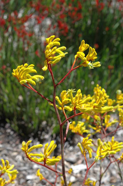 APII jpeg image of Anigozanthos 'Bush Nugget'  © contact APII