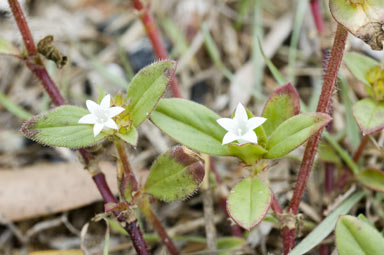 APII jpeg image of Richardia scabra  © contact APII