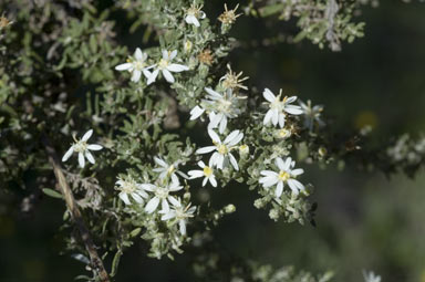 APII jpeg image of Olearia microphylla  © contact APII