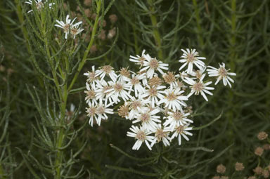 APII jpeg image of Olearia glandulosa  © contact APII