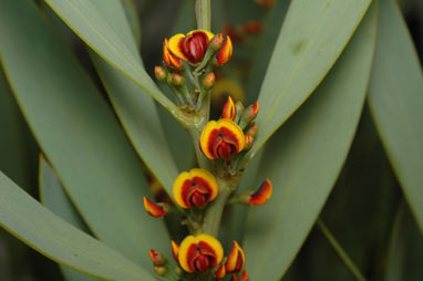 APII jpeg image of Daviesia daphnoides  © contact APII