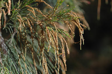 APII jpeg image of Allocasuarina torulosa  © contact APII